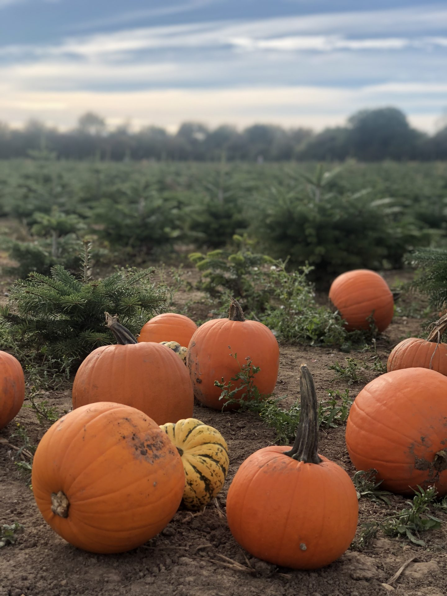 Pumpkin Picking, Essex